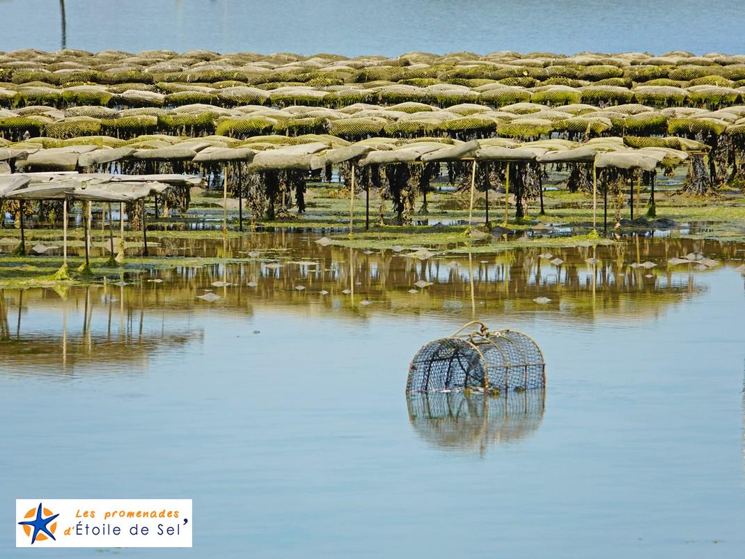 huîtres dans le golfe